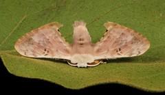 Bombycid Silk Moth (Penicillifera cf. tamsi, Bombycidae), male (John Horstman (itchydogimages, SINOBUG)) Tags: insect macro china yunnan itchydogimages sinobug entomology moth canon lepidoptera bombycidae silkmoth