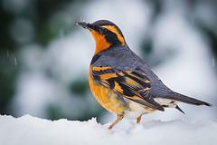 Color Infused (writing with light 2422 (Not Pro)) Tags: variedthrush thrush bird thebackyard orange snow sonya7 sonya7riii washingtonstate notanoriole rich richborder border pnw pacificnorthwest wildlife
