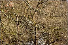 würselen 97 (beauty of all things) Tags: würselen wurmtal wanderwega3 alterbahndamm flora gestrypp gestrüpp scrub winter schnee snow