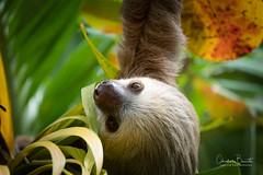 Paresseux/Oso perezozo 3 (Elf-8) Tags: sloth palmtree nature animal tropical costarica