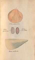 n34_w1150 (BioDivLibrary) Tags: greatbritain mollusks museumsvictoria bhl:page=57640244 dc:identifier=httpsbiodiversitylibraryorgpage57640244 conchologicaldictionary conchology shells britishisles britishislands williamturton british