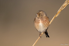 Linnet (Simon Stobart) Tags: linnet carduelis cannabina perched reed north east england uk