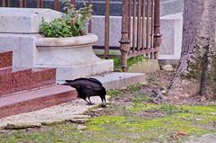 131 - Paris - Février 2019 - cimetière de Montmartre (paspog) Tags: paris france cemetery cimetière froedhof cimetièredemontmartre montmartre février februar february 2019 corbeau raven crow