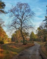 Early spring (Karel Warburg) Tags: spring bornia driebergen forrest bos zandweg dirtroad trees bomen samsungs9plus
