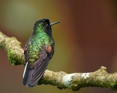 Black-bellied Hummingbird (anacm.silva) Tags: blackbelliedhummingbird hummingbird ave bird wild wildlife nature natureza naturaleza birds aves colibri bejaflor cataratadeltoro costarica eupherusanigriventris ngc