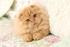 Rug Hugger Kitten (dollfacepersiankittens.com) Tags: muchkin cat munchkin kittens persian for sale doll face scottish fold cats kitten pictures photos photography animals pets felines orange red