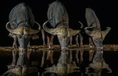 Buffalo / Afrikaanse buffel (Wim Hoek) Tags: nachtfotografie mammals zimangagamereserve umgodiovernighthide afrikaansebuffel afrika africa buffalo buffel kaapsebuffel kafferbuffel nightphotography nighttimephotography synceruscaffer zoogdieren uphongolonu kwazulunatal southafrica za