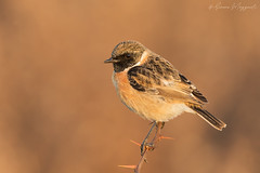 Saltimpalo - stonechat male (Simone Mazzoccoli) Tags: bird birds wild wildlife birdwatching stonechat saltimpalo uccelli animals animal animali field fields nature natura outdoor background sunrise alba colors sfondo bokeh canon