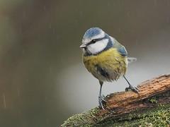 Blue tit (Blaumeise (alfred.reinartz) Tags: vogel singvogel bird blaumeise cyanistescaeruleus