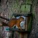 Red Squirrels at Rannoch 2017 - 2969.jpg