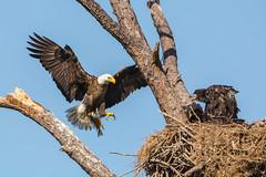 Bringing it home (ChicagoBob46) Tags: baldeagle eagle eaglets bird florida fortmyers nature wildlife ngc naturethroughthelens coth5 npc