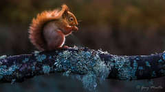 Red Squirrel (Liquidparadox) Tags: squirrel red scotland nibble eating pose bushy beauiful woods wood branch canon 100400 bokeh