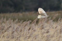 0M2A5642 Barn Owl (kevin_livesey) Tags:
