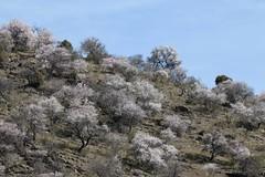 Almond Sakura (RubénRamosBlanco) Tags: naturaleza nature paisaje landscape árboles trees almendros almondtrees blossom floración color invierno winter madrid españa spain