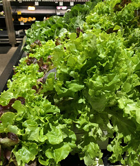 2019 Sydney: Lots of Lovely Lettuce (dominotic) Tags: 2019 food vegetable lettuce yᑌᗰᗰy iphone8 green shopdisplay foodphotography sydney australia