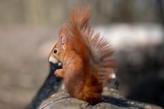 Squirrel macro (Joachim Dobler) Tags: eichhörnchen eichhoernchen squirrel écureuil ardilla scoiattolo equito nature natur nagetier wildlife animal cute naturephotography squirrellove wildlifephotography bestsquirrel nutsaboutsquirrels cuteanimals