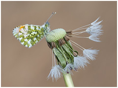 Orange Tip (nigel kiteley2011) Tags: orangetip butterflies butterfly insects nature lepidoptera canon 5dmk3