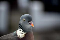 no (HoosierSands) Tags: woodpigeon ealing london