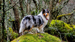Deep in the woods of Jurmo 🐶🌴🌴 (Esa Suomaa) Tags: jurmo collie roughcollie bluemerle mansbestfriend islands island woods trees tree trail planetearth scandinavia suomi finland forest oldforest öar olympusomd