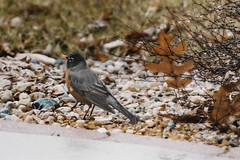 A Sign of Spring  : The early bird gets the worm! (Carol (vanhookc)) Tags: bird robin signofspring beadsofrain