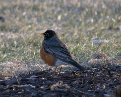 The robin (kirsten.eide) Tags: d3300 nikon avian birdfeeders robin birds