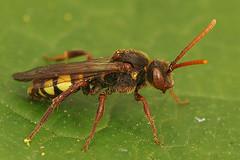 Nomada species (henk.wallays) Tags: nature aaaa nomada hymenoptera bees arthropoda nomadaspecies insect henkwallays wespenbiene wespenbienen closeup macro natuur wespbij wespbijen wildlife