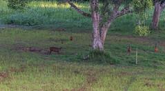 DSC_5401 (Adrian Royle) Tags: malaysia tamannegara travel holiday nature wildlife mammal deer forest outdoors nikon barkingdeer muntjac