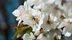 Spring in details (Nicola Pezzoli) Tags: val gandino seriana bergamo italia italy nature spring leffe ceride san rocco macro flower flowers fiori ciliegio tree pianta