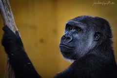 Gorila II (Lagier01) Tags: fauna gorila mamiferos nature parquenaturaldecabarceno animales
