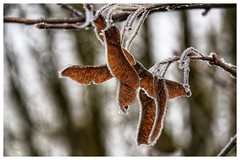 Origami givré (BelSoq) Tags: givre froid feuilles hiver winter nature frosted leaf
