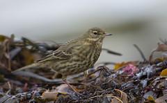 Rock Pipit on the tide line (tobyhoulton) Tags: bird wildlife nature rock pipit coast beach toby houlton nikon d7200