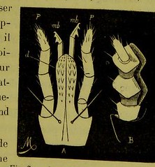 This image is taken from Page 65 of Les acariens parasites [electronic resource] (Medical Heritage Library, Inc.) Tags: acari arachnid vectors wellcomelibrary ukmhl medicalheritagelibrary europeanlibraries date1892 idb20406186
