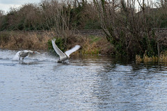 FIGHTING SWANS [ ROYAL CANAL BETWEEN BROOMBRIDGE AND ASHTOWN]-148327 (infomatique) Tags: birds swans fight wildlife nature water canal royalcanal canalwalk sony a7riii batis zeiss 135mmlens williammurphy infomatique fotonique ireland
