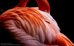 Flame (William C. Y. Chu) Tags: bird kadooriefarm flamingo phoenicopteriformes red feather lowkey 紅鶴 紅鸛 火烈鳥 fujifilm xf200mm xf200mmf2 xt3 fujifilmxt3 xf200