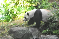 20190101-DSC_3758 (Beothuk) Tags: calgary zoo new years day 2019 giant panda indoor