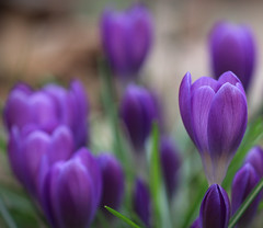 This Sighting ... (AnyMotion) Tags: crocus krokus blossom blüte 2019 floral flowers frankfurt garden garten plants anymotion winter hiver invierno colours colors farben purple lila 7d canoneos7dmarkii ngc npc