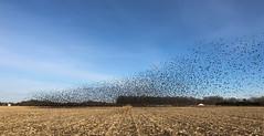Week 6 Inspiration: #nofilter (arlene sopranzetti) Tags: blackbirds flock swarm vineland new jersey nj winter corn field dogwood2019