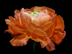 Return of Spring ... (h.pregel) Tags: ranunculus flower blossom springtime night darkness petals beauty