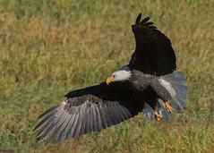 Bald Eagle (nickinthegarden) Tags: americanbaldeagle baldeagle eagle chehalisflats harrisonmillsbccanada