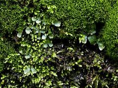 P1060044 (Hiker Bob) Tags: 20190220 bryophytes liverwort meanderthals sangabrielmountains sangabrielriver westfork