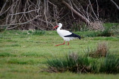 Cigogne Blanche - Cigogne Blanche - White Stork (Elisabeth Lys) Tags: cigogne marais green vert nature oiseau bird stork whitestork nikon d7200 sigma 150600mm contemporary
