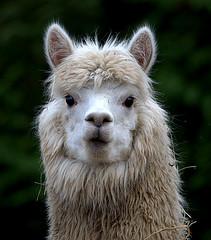 Alpaca (Phil*ippe) Tags: alpaca animal