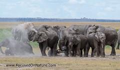 Elephant Dirt Bath (FocusedOnNature.com) Tags: kenya amboselinationalpark elephant africa
