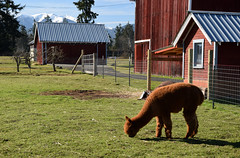 Alpaca 813 (Donna's View) Tags: nikon d3300 alpaca alpacaportrait closeup animal vicugnapacos farm barn shed fence