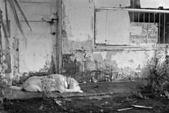 Truck Stop Blues (macromary) Tags: analog florida foma fomapan fomapan100 blackwhite analogphotograph bokeh bw blackandwhitefilm filmcamera film mechanicalcamera vintage vintagecamera urbex rurex flurbex abandoned fl volusiacounty rodinal standdeveloping standdeveloped 35mm summicron 50mm 50mmlens 35mmfilm truckstop mechanic molly dog lab yellowlab labradoretriever derelict murbex