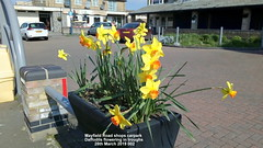 Mayfield Road shops carpark - Daffodils flowering in troughs 28th March 2019 002 (D@viD_2.011) Tags: mayfield road shops carpark daffodils flowering troughs 28th march 2019