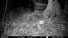 TRAIL CAM:  WHAT KIND OF ANIMAL IS THIS? (Stevie Steve Steven) Tags: cryptid creature nibiru paranormal ghost nature landscape hiking tailcam trees nationalpark hikingtrail wisconsin bigfoot sunset beach water sky red flower blue night white tree green flowers portrait air light snow dog sun clouds cat park winter street summer sea city yellow lake christmas people bridge family bird river pink house car food bw old marco music new moon orange garden