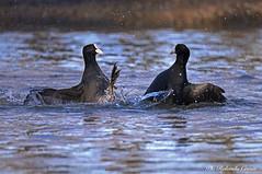 Folaga _010 (Rolando CRINITI) Tags: folaga uccelli uccello birds ornitologia avifauna racconigi natura lite