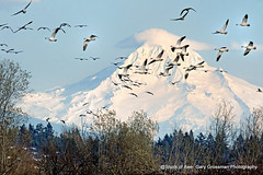 Snow On Snow (Gary Grossman) Tags: equinox spring geese mountain volcano hood birds flock nature wildlife landscape oregon northwest afternoon sauvie garygrossman garygrossmanphotography snowgeese pacificnorthwest vernalequinox mthood snowcapped sauvieisland