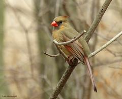Northern Cardinal female (Lois McNaught) Tags: northerncardinalfemale bird avian nature wildlife hamilton ontario canada
